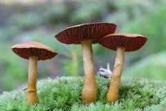 Webcap-Pilz Cortinarius Stockfotos