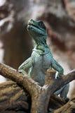 Weber's Sailfin Lizard Stock Photos