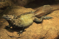 Weber's sailfin lizard Royalty Free Stock Photography