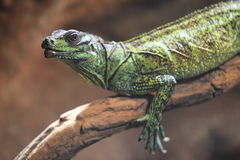 Weber's sailfin lizard Stock Images