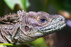Free Weber`s Sailfin Lizard Hydrosaurus Weberi Stock Photography - 88890102