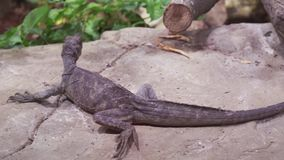 Weber`s sailfin lizard Hydrosaurus weberi in terrarium stock footage video. Weber`s sailfin lizard Hydrosaurus weberi in the terrarium stock footage video stock footage