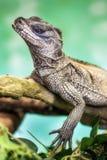 Weber sailfin jaszczurka (Hydrosaurus weberi) Obraz Royalty Free