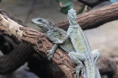 Weber sailfin lizard Royalty Free Stock Photos