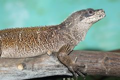 Weber sailfin lizard. On the wood royalty free stock image