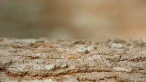 Weberameisen, die auf Baumrinde gehen stock video footage