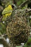 Webervogel, der ein Nest errichtet Stockfoto