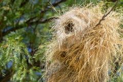 Webervogel-Nestnahaufnahme Stockfotos