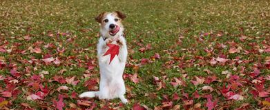 WEBSIDE BANNER AUTUMN DOG. JACK RUSSELL PUPPY STANDING ON TWO HIND LEGS  AND LINKING WITH TONGUE OUT ON FALL LEAVES GRASS. WEBSIDE BANNER AUTUMN DOG. JACK royalty free stock photography