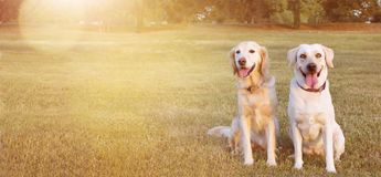 WEBSIDE BANNER TWO HAPPY DOGS LABRADOR AND GOLDEN RETRIEVER SITTING IN THE GRASS ON SUMMER HEAT.  royalty free stock images