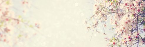 website banner background of of spring white cherry blossoms tree. selective focus. Royalty Free Stock Photo