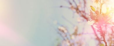 Website banner background of of spring white cherry blossoms tree. selective focus. Website banner background of of spring white cherry blossoms tree. selective Stock Photo