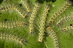 Webworm de chute de mite de parasite Photo stock