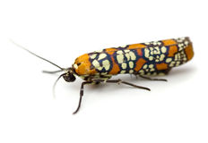 Webworm Moth stock photos