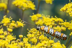 Webworm moth walking on blooms of yellow flowers stock photos
