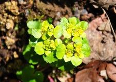 Wechselblättriges goldenes Wiesensteinbrech (Chrysosplenium alternifolium) Stockbilder