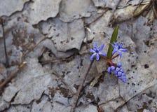 Wecken des Waldes 3 des Schneeglöckchens im Frühjahr stockbilder
