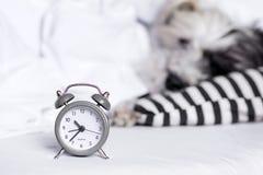 Wecker auf einem Schlafenhundehintergrund lizenzfreies stockfoto