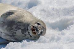 Weddel foka na plaży z śniegiem w Antarctica obrazy stock