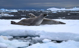 Weddel Seals. Two Weddel Seals on an ice flow in Antarctica Royalty Free Stock Images