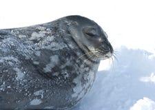 Weddell纵向密封休眠在冰。 库存照片