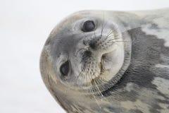 weddell уплотнения острова cuverville Антарктики Стоковое Изображение