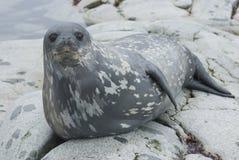 Weddell förseglar på vaggar av öarna. Royaltyfri Fotografi