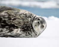 Weddell foka Zdjęcia Stock