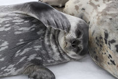 Weddell foki ciuci lying on the beach obok kobiety na lodzie Fotografia Stock
