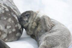Weddell Roobbenbabies, die nach einer Mahlzeit stillstehen. Lizenzfreies Stockbild