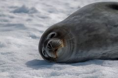Weddell's Seal Royalty Free Stock Photography