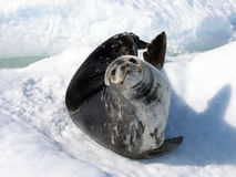 A Weddell Seal. Pup, Antarctica Royalty Free Stock Photo