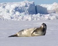 Weddell Seal. On Snow Hill Island, Antarctica Royalty Free Stock Photos