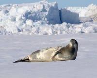 Weddell Seal. On Snow Hill Island, Antarctica royalty free stock photos
