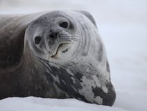Weddell seal of Antarctica Stock Photos