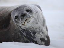 Weddell seal of Antarctica Stock Photos