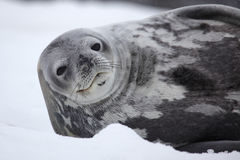 Weddell seal of Antarctica. Weddell seal - southernmost breeding mammal of the world - Antarctic Peninsula, Antarctica Stock Image
