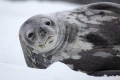Weddell seal of Antarctica Stock Image