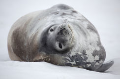 Weddell seal of Antarctica. Weddell seal - southernmost breeding mammal of the world - Antarctic Peninsula, Antarctica Royalty Free Stock Photo