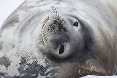 Weddell seal, Antarctica Stock Photography