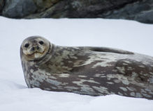 Weddell Seal Antarctica. Weddell seal lying on Antarctica Royalty Free Stock Photos
