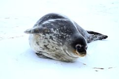 Weddell seal in Atartica. Native seal in weddell sea, Antartica. winter photografy. look at it face expresion. amazing experience Royalty Free Stock Image