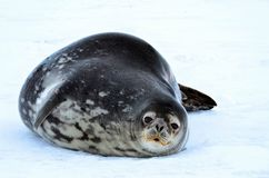 Weddell seal in Atartica. Native seal in weddell sea, Antartica. winter photografy. look at it face expresion. amazing experience Stock Photos