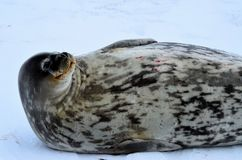 Weddell seal in Atartica. Native seal in weddell sea, Antartica. winter photografy. look at it face expresion. amazing experience Royalty Free Stock Images