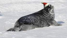 Weddell seal baby at Christmas. A cute Weddell seal young at Christmas time Stock Photography