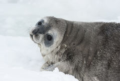 Weddell seal baby who is lying on ice turning his head Stock Photo