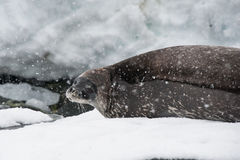 Weddell seal on the beach. This shot was made during expedition to Antarctica in January 2012 Stock Photos