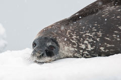 Weddell seal on the beach. This shot was made during expedition to Antarctica in January 2012 Royalty Free Stock Photography