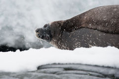 Weddell seal on the beach. This shot was made during expedition to Antarctica in January 2012 Stock Photo