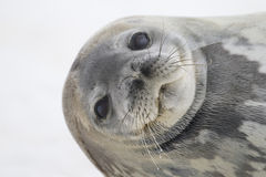 Weddell Seal, Cuverville Island, Antarctica Stock Image
